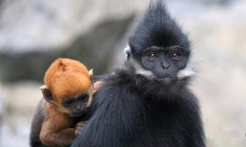 François-langur-with-baby